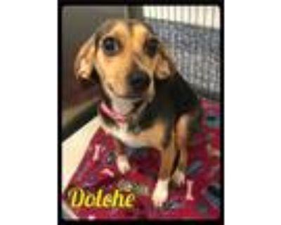Adopt Dolche - 2106157 / 2021 a Tricolor (Tan/Brown & Black & White) Beagle /