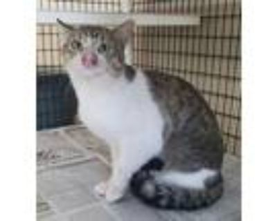 Adopt dsh white with tiger a Domestic Medium Hair
