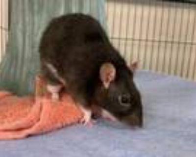 Adopt BARB a Rat