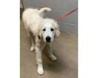 Adopt Lester* a White Great Pyrenees / Mixed dog in Anderson, SC (32073265)