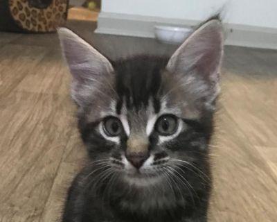 Oreo Tanaka - Domestic Shorthair - Kitten Female