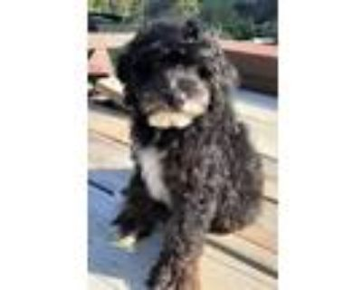 Adopt Odie a Black - with White Poodle (Toy or Tea Cup) / Australian Shepherd /