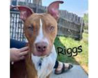 Adopt Riggs a Brown/Chocolate Pit Bull Terrier / Mixed Breed (Large) / Mixed dog