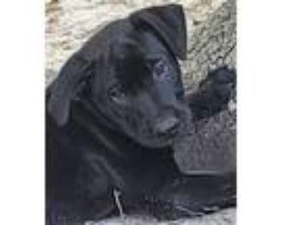 Adopt Shenandoah a Labrador Retriever, German Shepherd Dog
