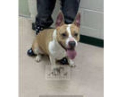 Adopt SESAME a Tan/Yellow/Fawn - with White American Pit Bull Terrier / Mixed
