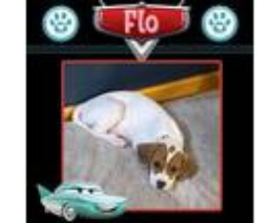 Adopt Flo (Cars Pup) a Tan/Yellow/Fawn - with White Pointer / Mixed dog in