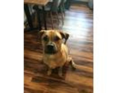 Adopt Blake a Tan/Yellow/Fawn - with Black Boxer / Terrier (Unknown Type