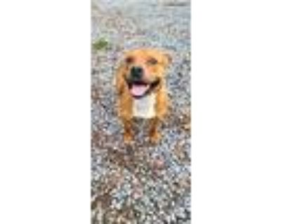 Mcdouble, Pit Bull Terrier For Adoption In Fairmont, West Virginia