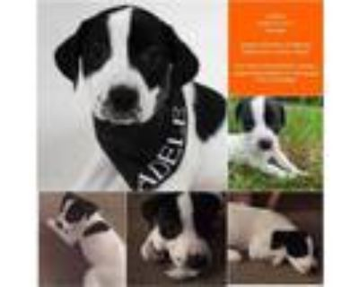 Adopt Adele a Great Pyrenees, Hound