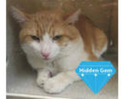 Adopt *NILA a Orange or Red (Mostly) Domestic Shorthair / Mixed (short coat) cat