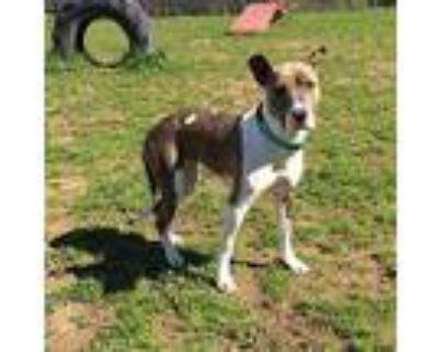 Bernadette, Pit Bull Terrier For Adoption In Chico, California