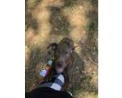 Adopt Nova a Brown/Chocolate - with White American Pit Bull Terrier / Labrador