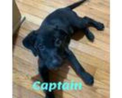 Adopt Captain a Labrador Retriever