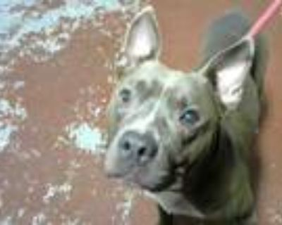Adopt NOODLE a Pit Bull Terrier, Mixed Breed