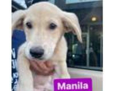 Adopt Manila a Tan/Yellow/Fawn Labrador Retriever / Shar Pei / Mixed dog in