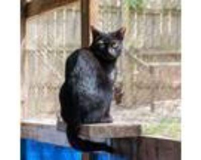 Adopt Ken a All Black Domestic Shorthair / Mixed (short coat) cat in Shreveport