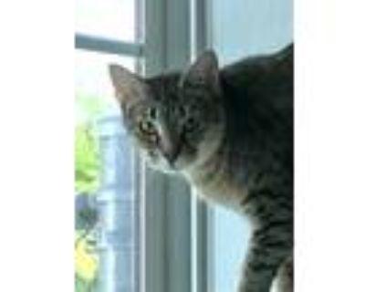 Adopt Setsuna a Domestic Shorthair / Mixed cat in Portsmouth, VA (31090334)