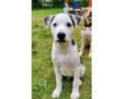 Adopt Moby a White - with Black Shepherd (Unknown Type) / Collie dog in Boulder