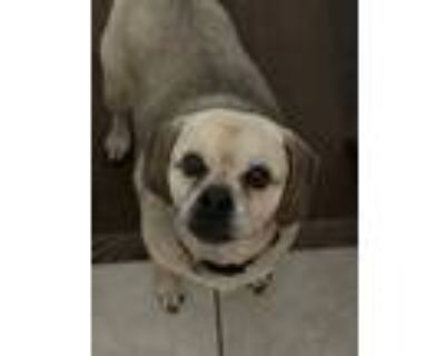 Adopt Buttercup a Tan/Yellow/Fawn - with Black Pug / Beagle / Mixed dog in