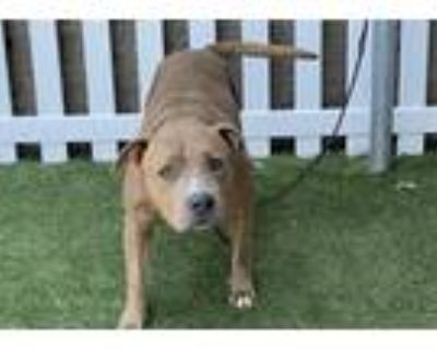 Adopt *NARCISSA a Brindle - with White American Pit Bull Terrier / Mixed dog in
