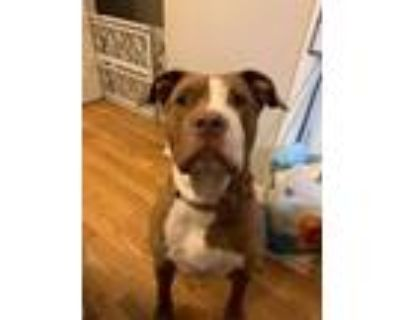 Adopt Sicily a Pit Bull Terrier, Mixed Breed