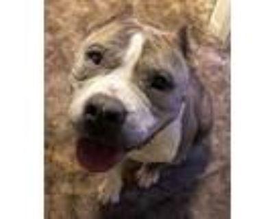 Adopt Sasha Chacha a Pit Bull Terrier