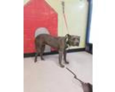 Adopt CECILIA a Pit Bull Terrier, Mixed Breed