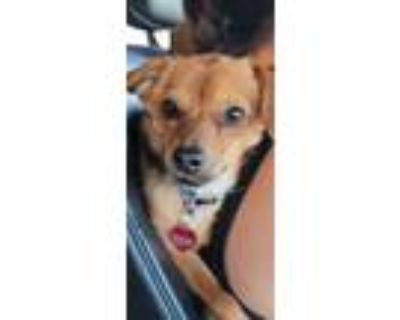 Adopt Griff a Yorkshire Terrier, Pomeranian