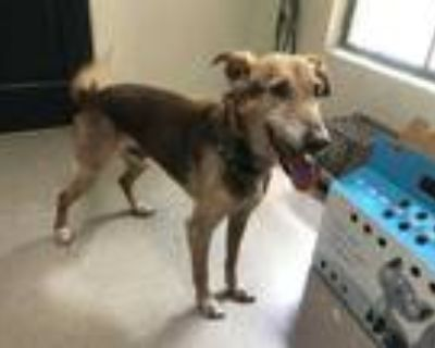 Adopt DODGER a Brown/Chocolate - with Tan German Shepherd Dog / Mixed dog in