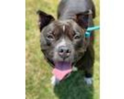 Adopt Aretha Franklin a Black American Pit Bull Terrier / Mixed dog in Newport