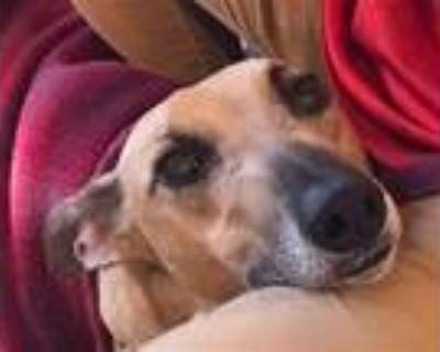 Adopt Tanner a Greyhound