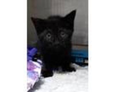 Adopt 21-06-1551 Jingles a Domestic Shorthair / Mixed (short coat) cat in