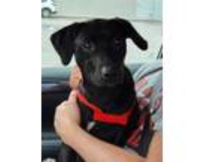 Adopt A693484 a Labrador Retriever