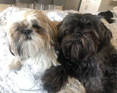 Shih Tzu Puppies coming soon!