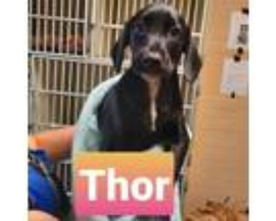 Adopt Thor Tape Measure a Black Doberman Pinscher / Mixed dog in Mission