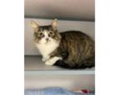 Adopt MONKEY a Maine Coon, Domestic Short Hair