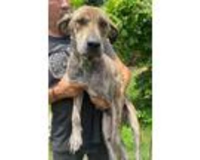 Adopt LIL MAMMA a Brown/Chocolate - with White Labrador Retriever / Mixed dog in