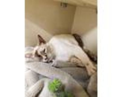 Bugsy, Siamese For Adoption In Park City, Utah