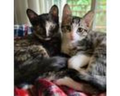 Adopt Wendy Pig Tail & Sweet Tooth Gus (bonded pair) a Tortoiseshell Domestic