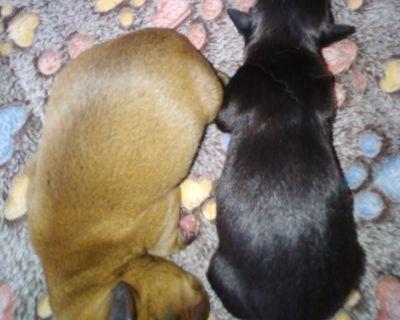Mini Dachshund/ Sheltie puppy
