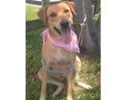 Adopt Cecilia a Tan/Yellow/Fawn Labrador Retriever / Mixed dog in Davie