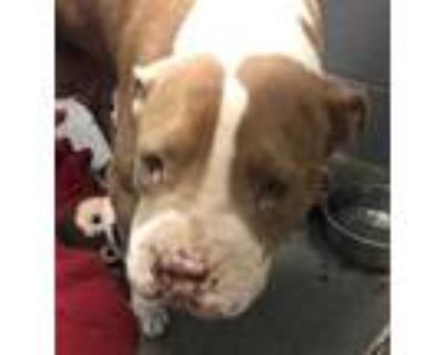 Adopt 47915293 a Brown/Chocolate American Pit Bull Terrier / Mixed dog in Los