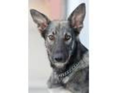 Adopt Reef von Rhede a Black - with Gray or Silver German Shepherd Dog / Mixed