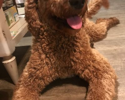 Looking for a male standard poodle