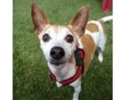 Adopt Indie a White Rat Terrier / Mixed dog in Merriam, KS (31787725)