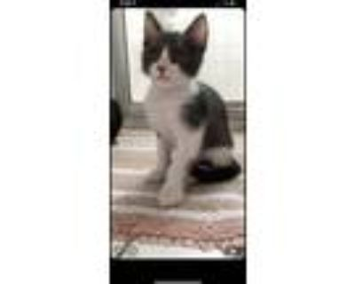 Adopt chonk a Gray or Blue (Mostly) American Shorthair / Mixed (short coat) cat