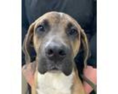 Adopt Big Poppa (East Campus ON HOLD) a Tan/Yellow/Fawn Great Dane / Mixed dog