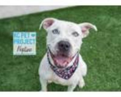 Adopt Neptune a White American Pit Bull Terrier / Mixed dog in Kansas City