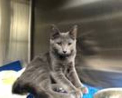 Adopt Pookie a Domestic Mediumhair / Mixed (short coat) cat in Chico