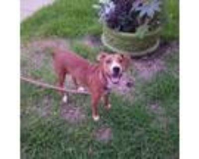 Adopt 48027263 a Red/Golden/Orange/Chestnut Retriever (Unknown Type) / Mixed dog